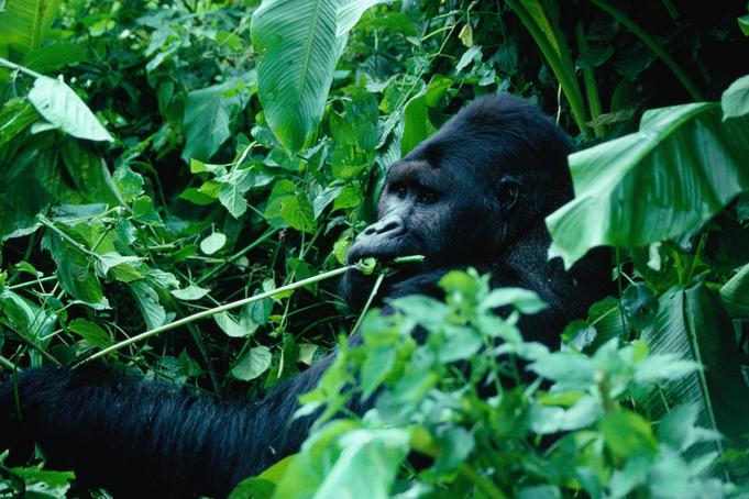 Горилла Демократическая Республика Конго 9Q5OAR