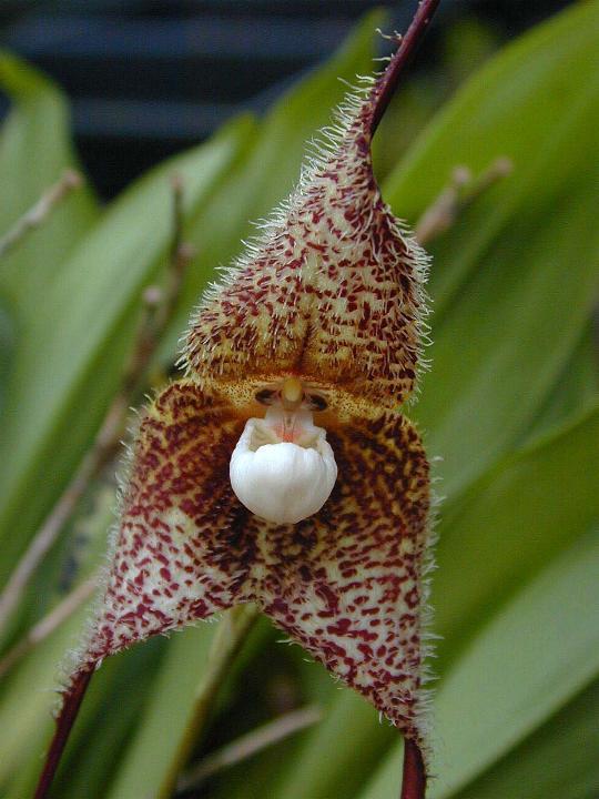 Эквадор HC4/W4BWS DX Новости Орхидея Дракула