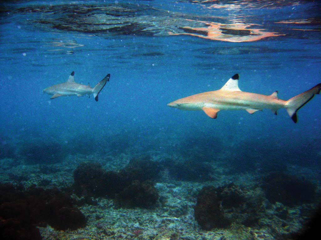 Embudu Island DX News 8Q7AK 2011 Sharks