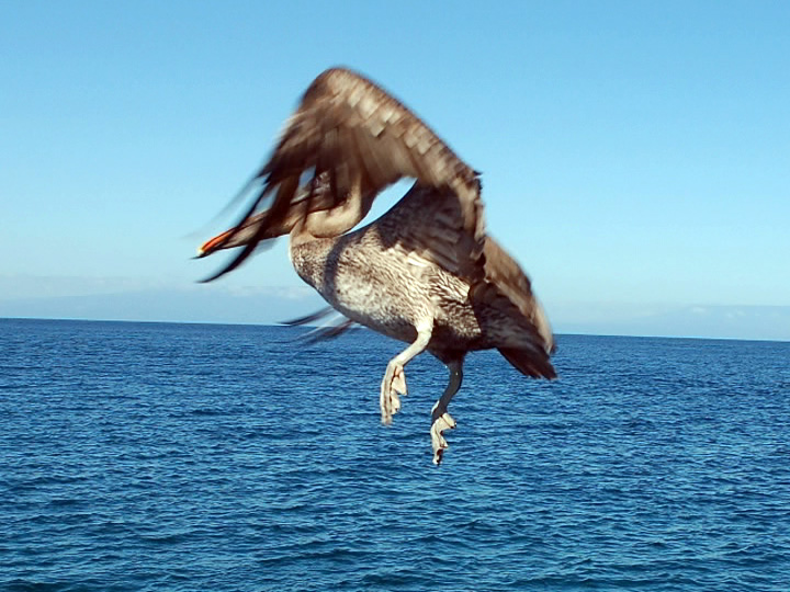Галапагосские Острова HC8/HC6EP Пеликан
