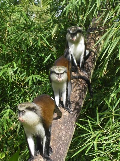 Grenada Island J37BO J37RO Monkeys