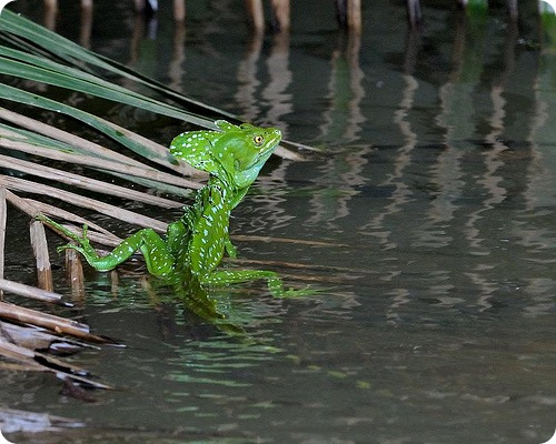 Guatemala AE5AW/TG9 Basiliscus Lizard