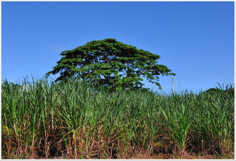 Гаити HH2/HB9AMO Плантация Сахарного Тростника