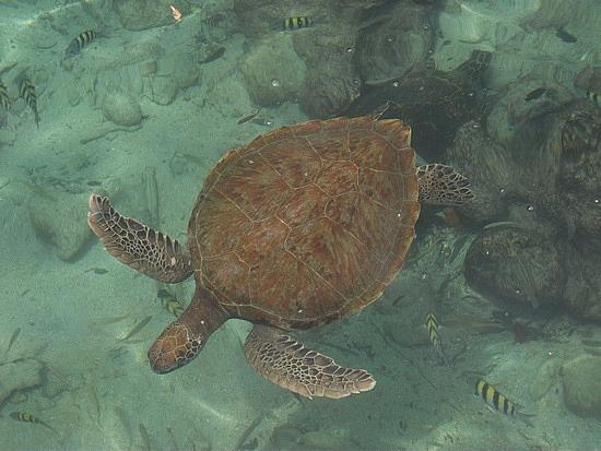 Остров Исла дель Пирата HK0GU/1 Морская Черепаха