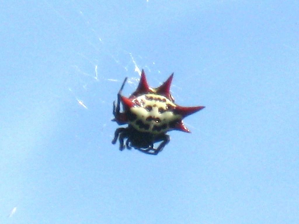 Jamaica Spiked Spider 6Y9X