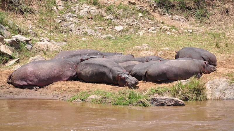 Кения 5Z4EE Бегемоты