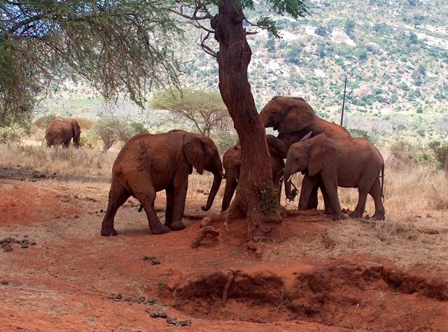 Кения 5Z4HW DX Новости Слоны