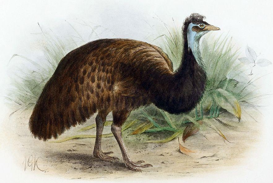 King Island Emu