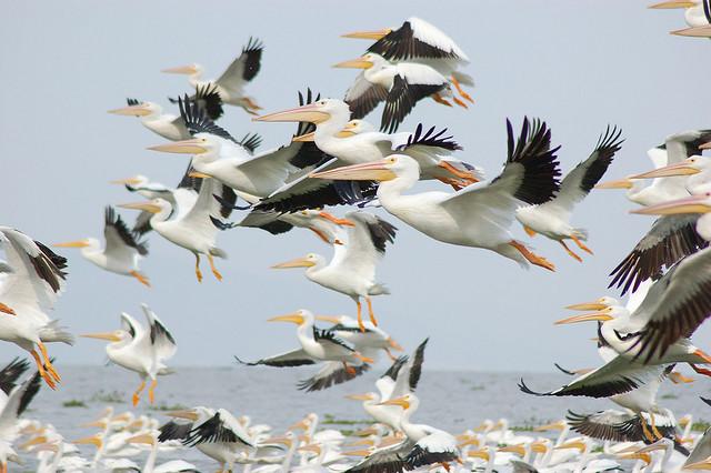 Озеро Чапала Мексика XE1/N4LBW Американские Пеликаны