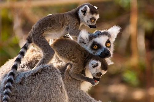 Madagascar Island Lemur 5R8A