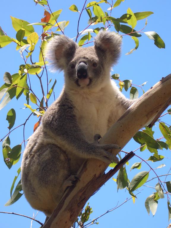 Magnetic Island Koala VK4LDX/P