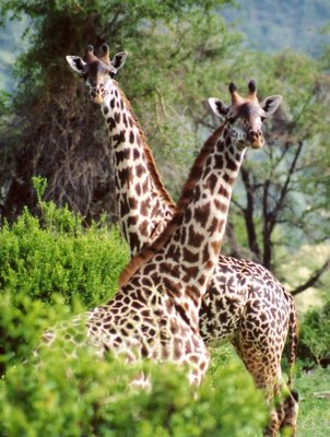 Malawi 7Q7BP Girafes