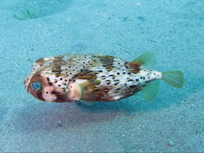 Martinique Island TO3GA DX News Puffer Fish