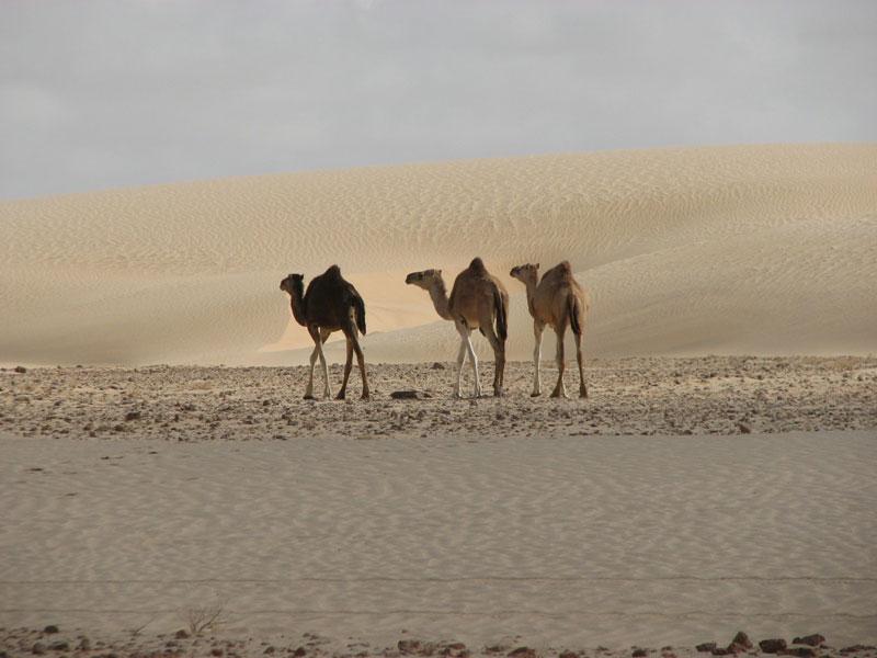 Мавритания 5T5BV DX Новости Верблюды