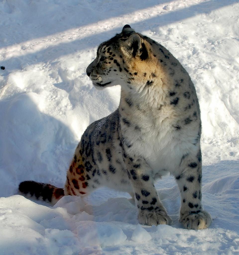 Mongolia Snow Leopard JV5A