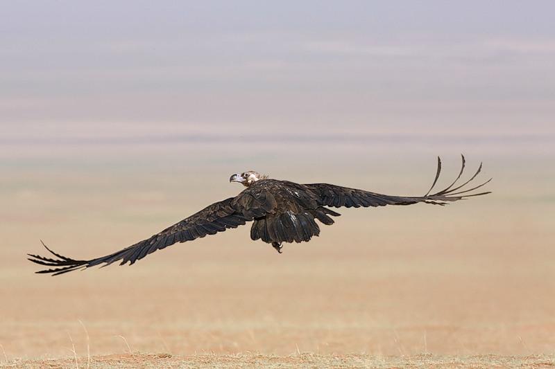 Mongolia Vulture JV5A