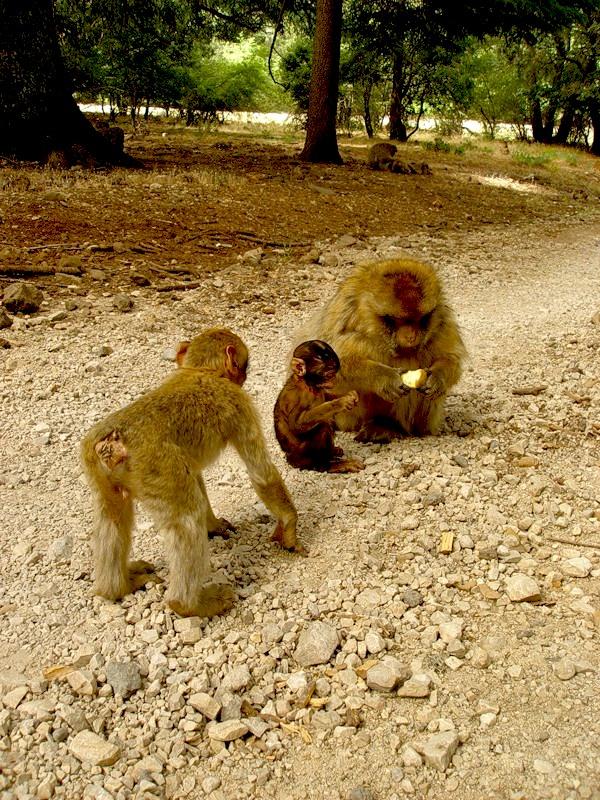 Morocco CN3A Monkey