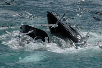 Mozambique C91JR Whale