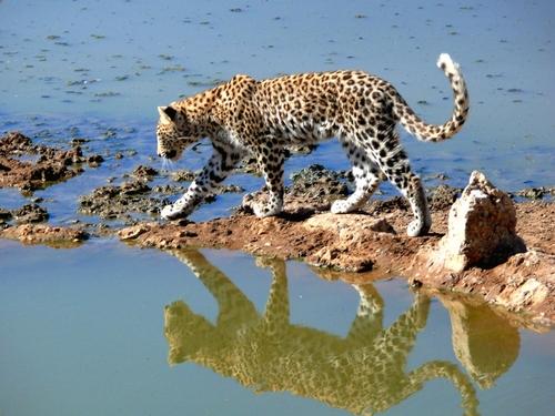 Namibia V55V/P Leopard