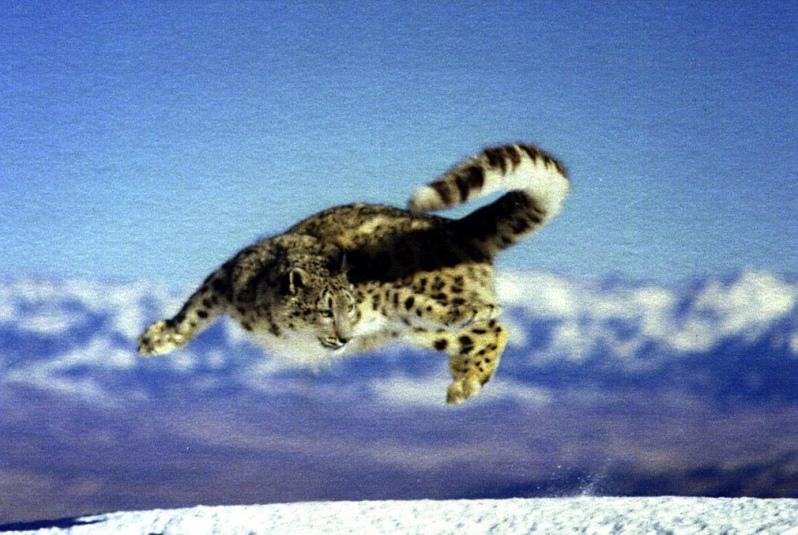 Nepal Snow Leopard 9N1II