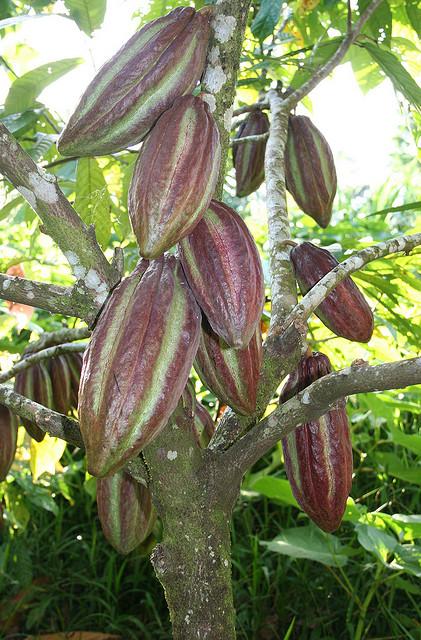 Никарагуа Шоколадное Дерево Какао