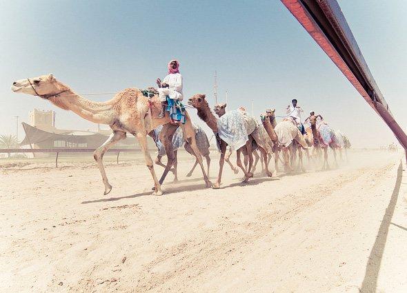 Катар A71A N1DG Гонки на верблюдах