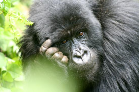 Руанда Горная Горилла