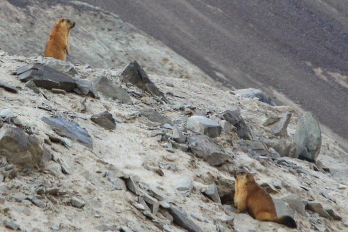 Tajikistan Marmot Pamir Mountains EY8MM