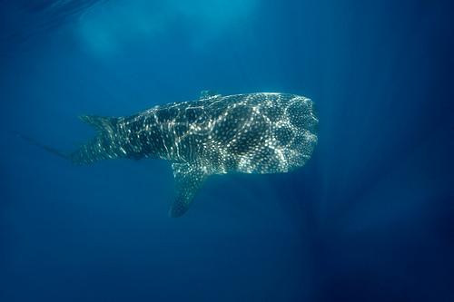 Tofo Mozambique C92DG Whales Shark
