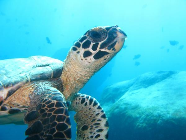 Остров Триндаде PP0T Морская Черепаха