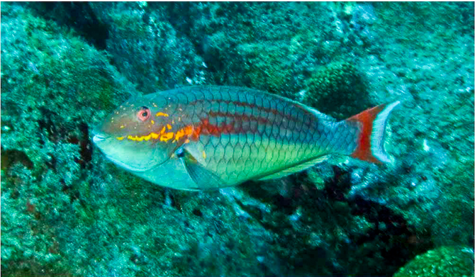 Trindade Island PP0T Parrotfish
