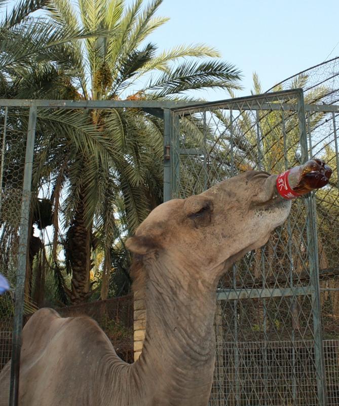 Тунис 3V8SS WAE CW 2011 Верблюд