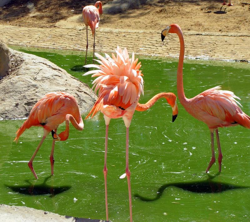 Тунис Фламинго 3V8SS