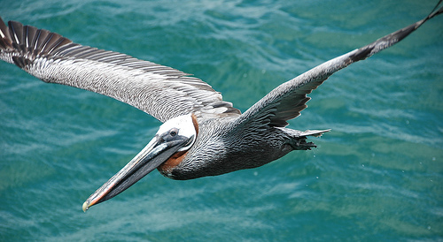 Turks and Caicos Islands VQ5D K8DD Brown Pelican