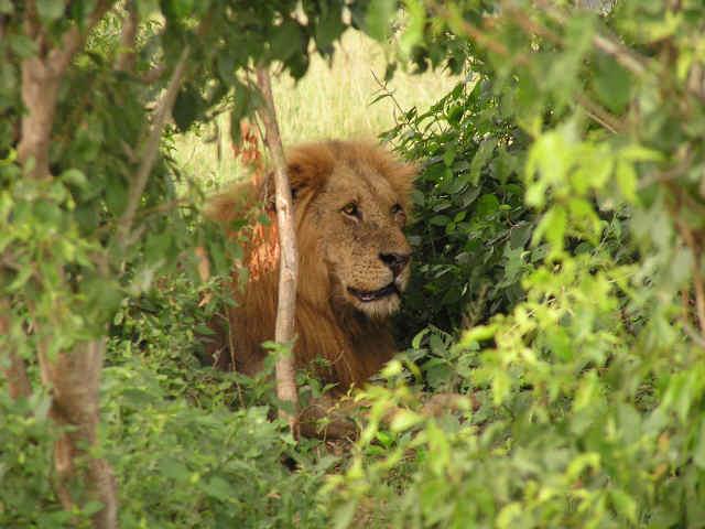 Уганда 5X0CW Лев