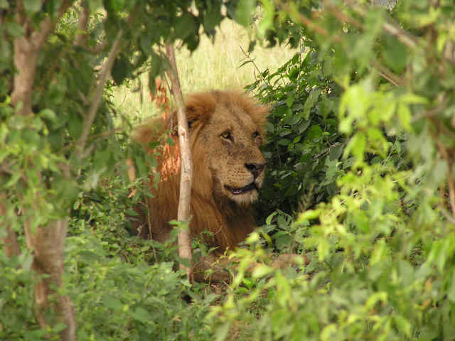 Uganda 5X0CW Lion
