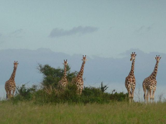 Uganda 5X1RO Image 20 Giraffes