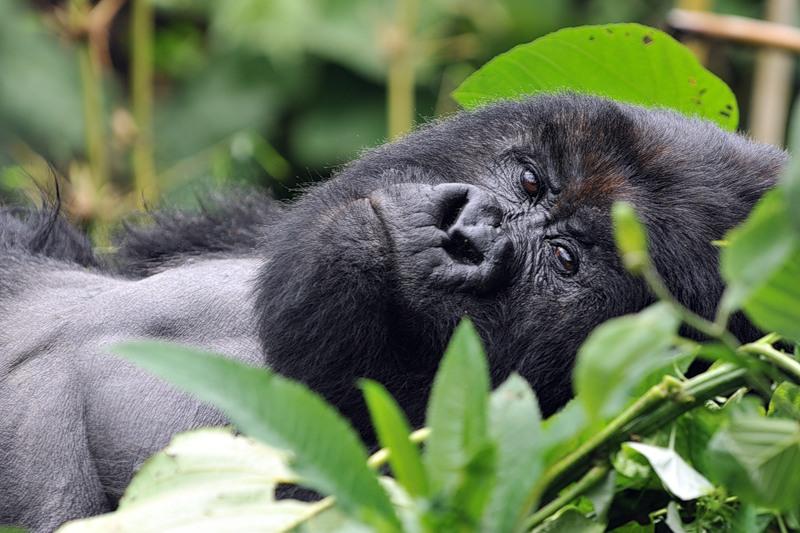 Уганда 5X1SF Горная Горилла
