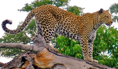 Uganda 5X1VJ Leopard