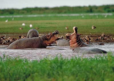 Uganda Hippopotamus 5X1NH