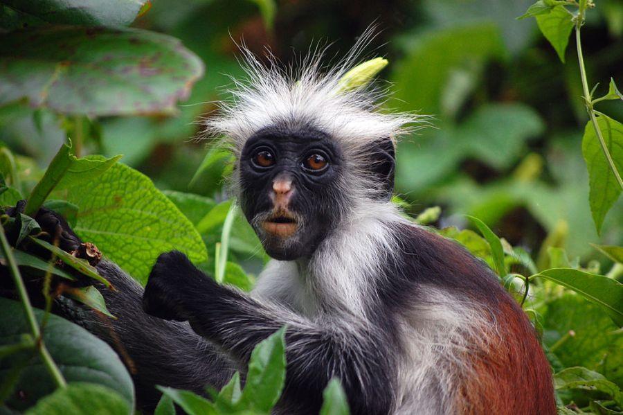 Zanzibar Red Colubus Monkey