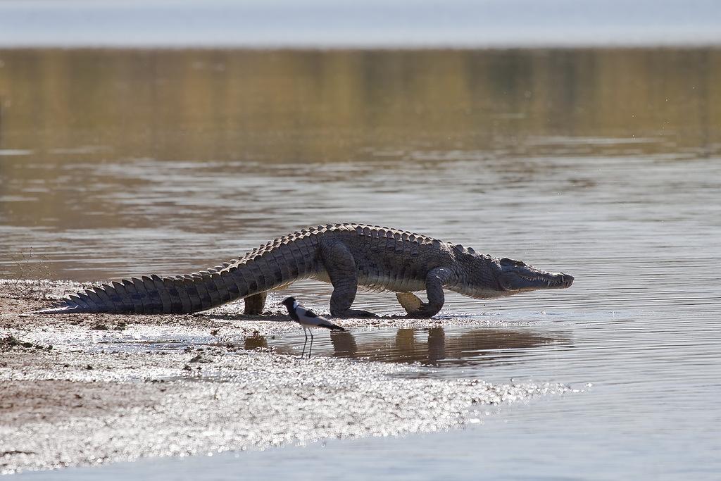 Зимбабве Z24EA Крокодил 2011