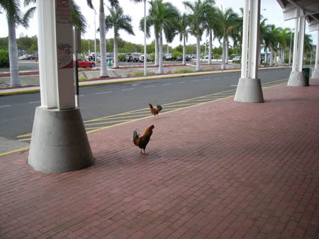 VP2VVA I saw a lot of chickens on Tortola