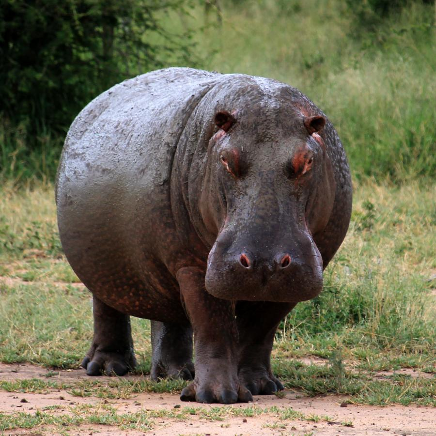 3DA0AO Hippopotamus, Hlane Royal National Park, eSwatini. DX News