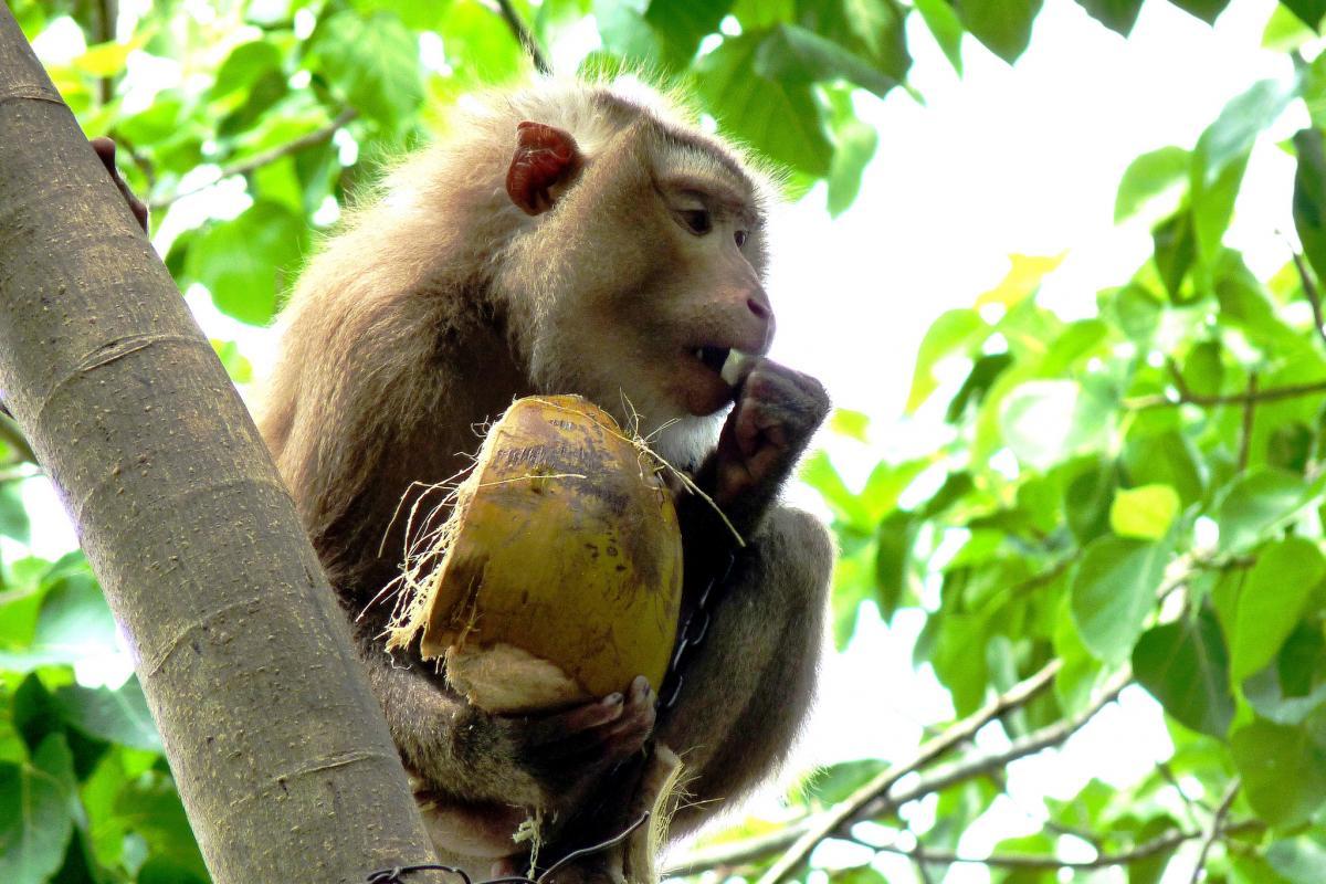 3W9DLE Обезьяна ест кокос, недалеко от Нячанг, Вьетнам. DX Новости.