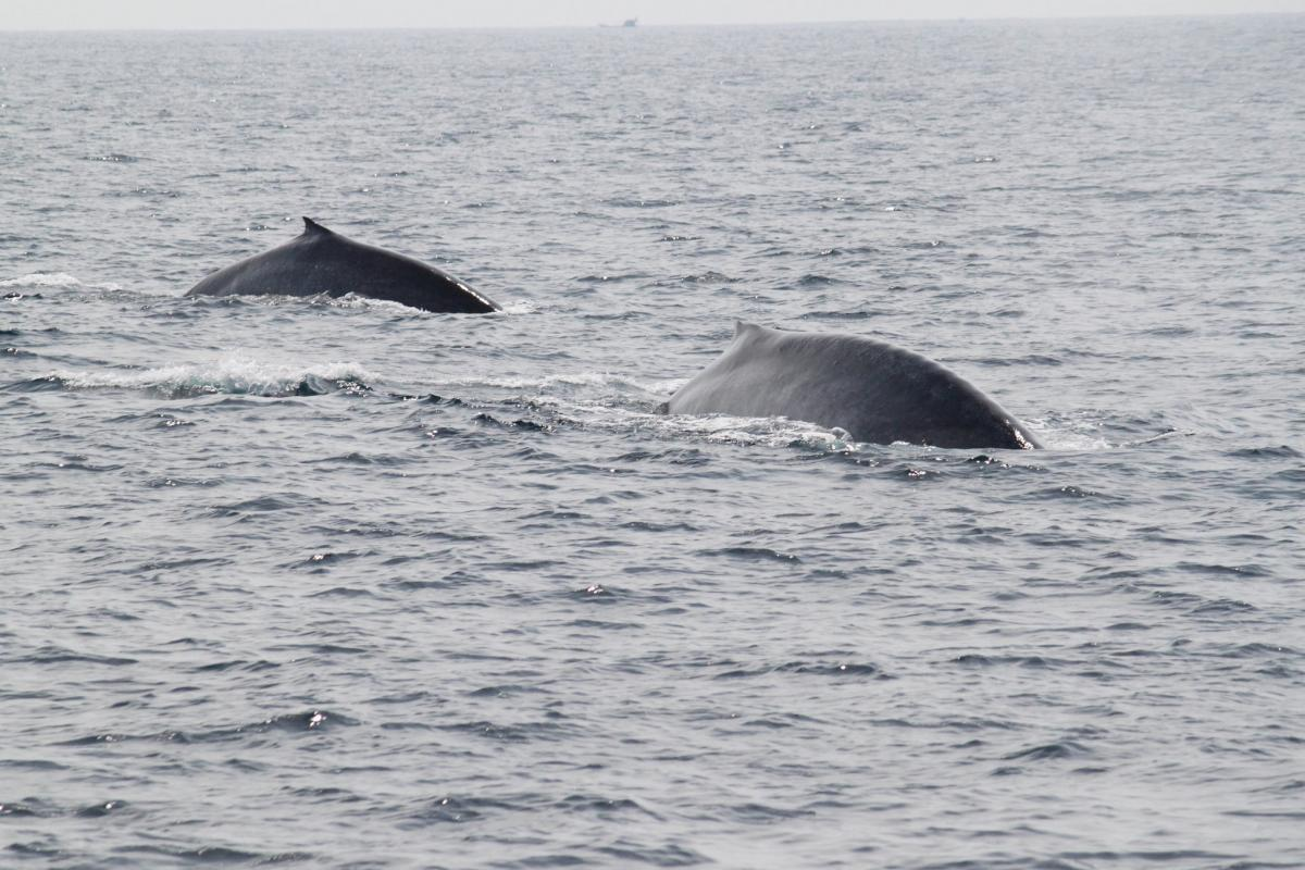 4S7IGG Blue Whales, Weligama, Sri Lanka Tourist attractions spot