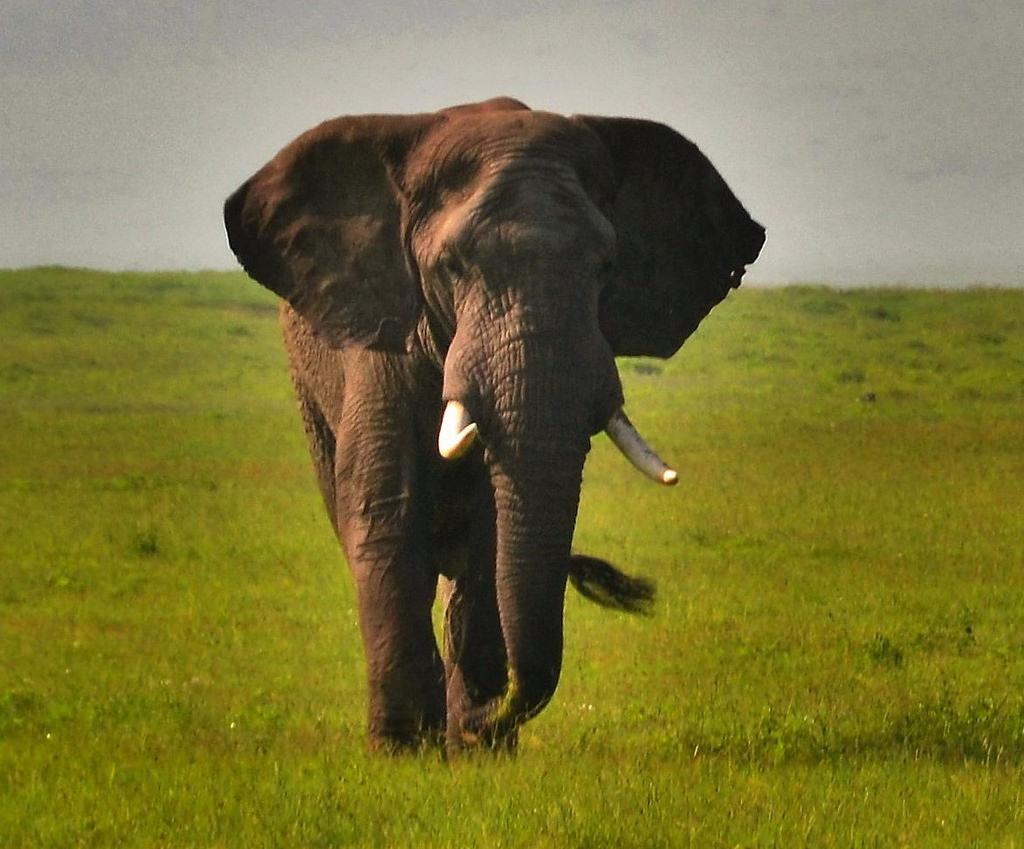 5H0JK Слон, Аруша, Танзания.