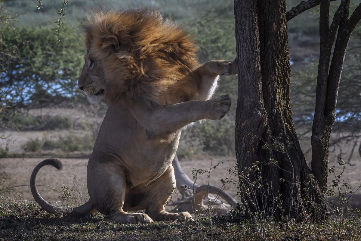5H3WA Male lion, Ndutu, Tanzania. Tourist attractions spot