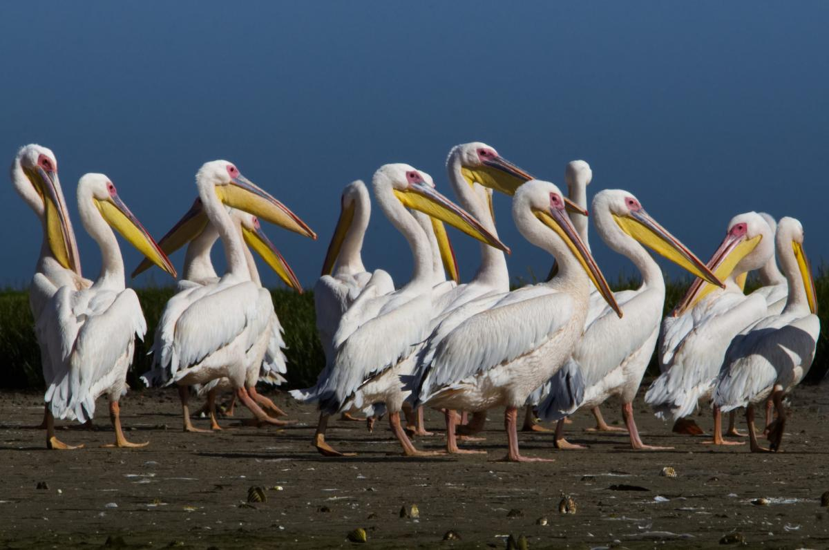 5T5PA Pelicans, Mauritania Tourist attractions spot