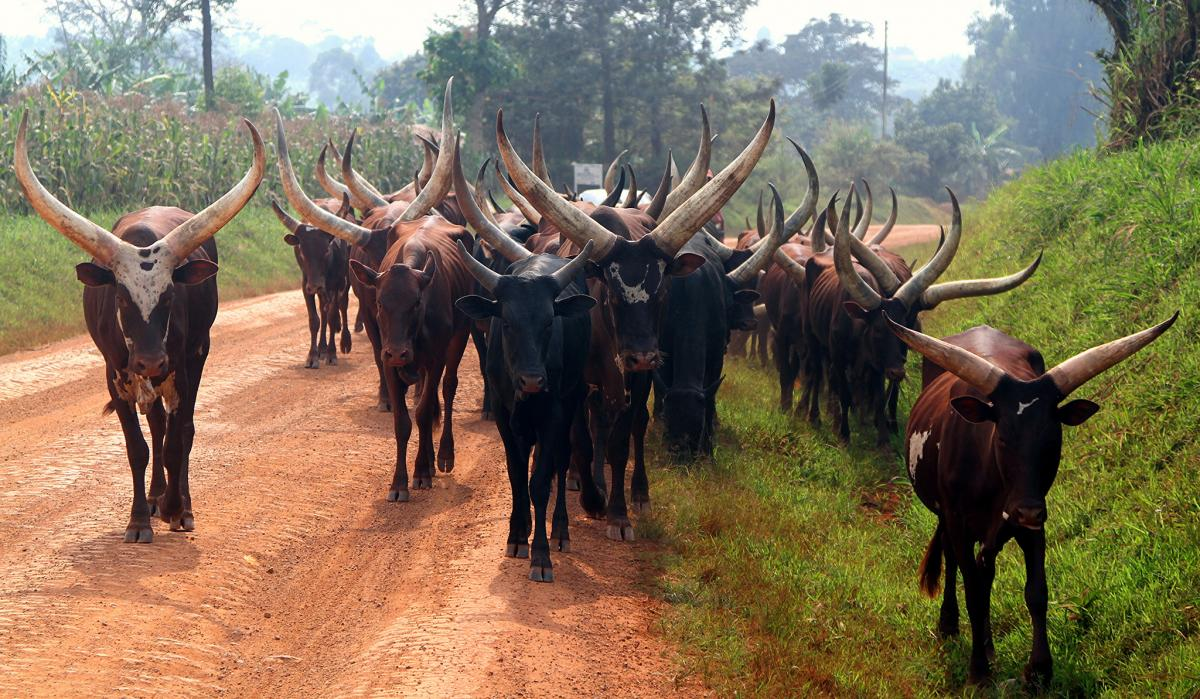 5X2S Ankole bull, Uganda. Tourist attractions spot
